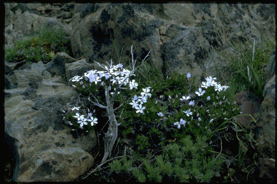 Farshot of Hood's Phlox, Phlox Hoodii, wildflowers.