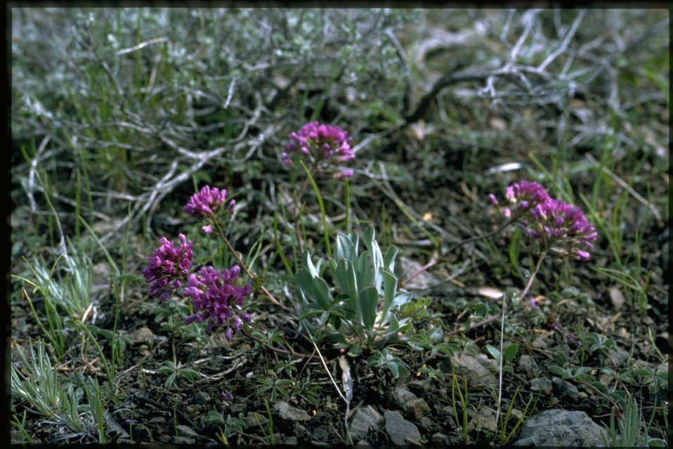 Farshot of daggerpod, Phoenicaulis Cheiranthoides, wildflowers.