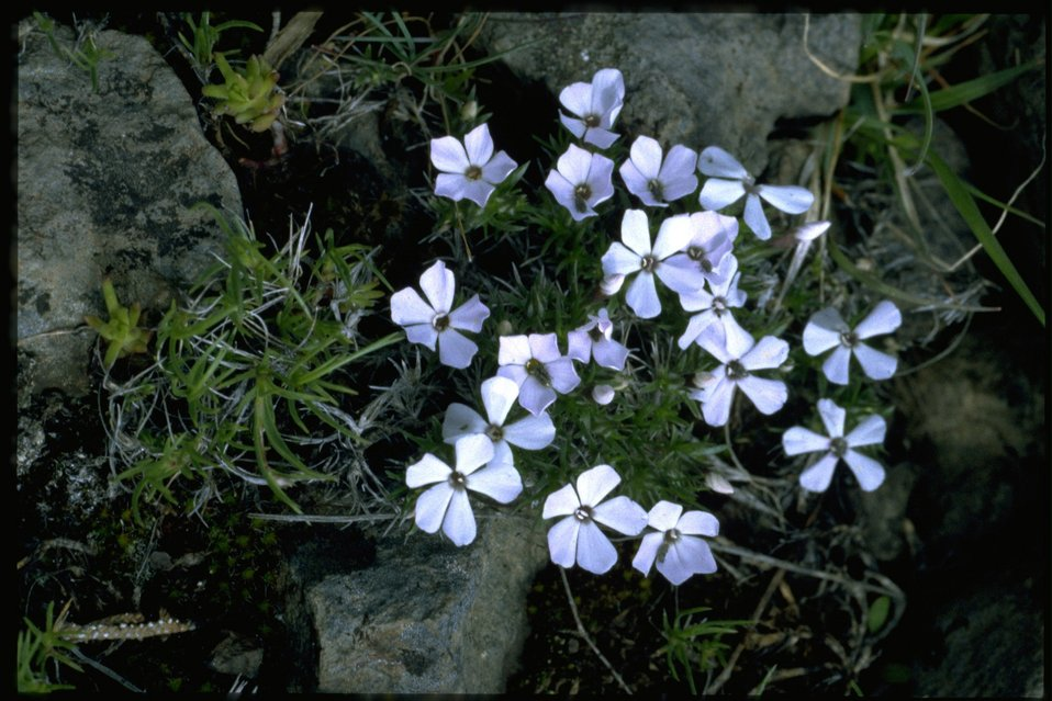 Medium shot of Hood's Phlox, Phlox Hoodii, wildflowers.