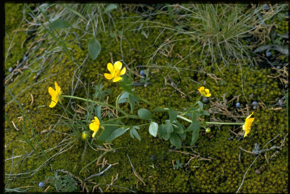 Farshot of Sagebrush Buttercup, Ranunculus Glaberrimus, wildflowers.
