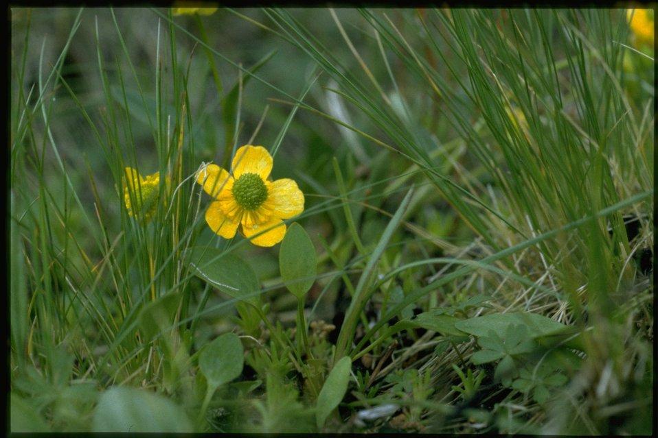 Closeup shot of Sagebrush Buttercup, Ranunculus Glaberrimus, wildflowers.