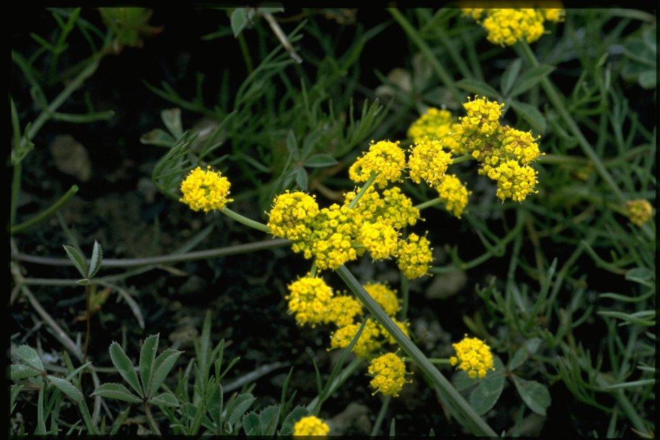Medium shot of Nineleaf Lomatium, Lomatium Triternatum, wildflowers.