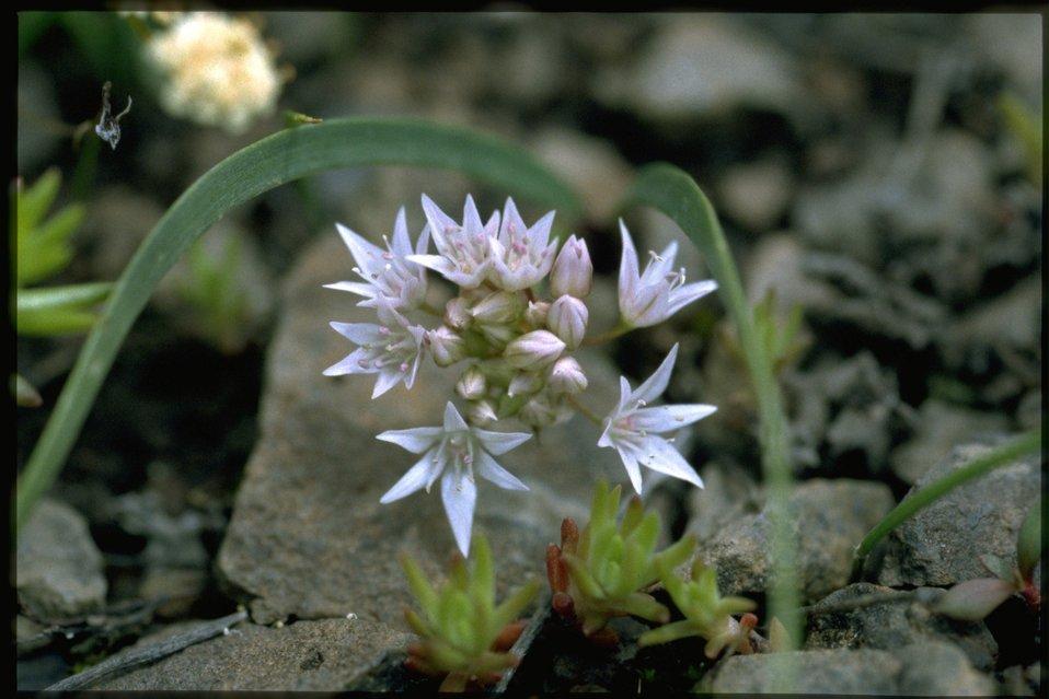 Medium shot of Tolmie's Onion, Allium Tolmiei, wildflowers.