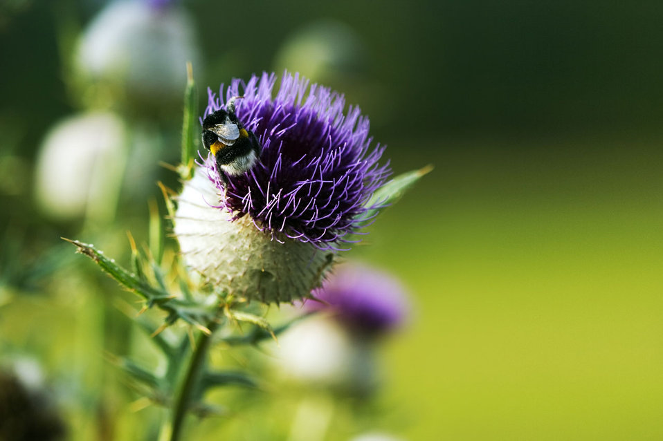 Thistle with a bumblebee