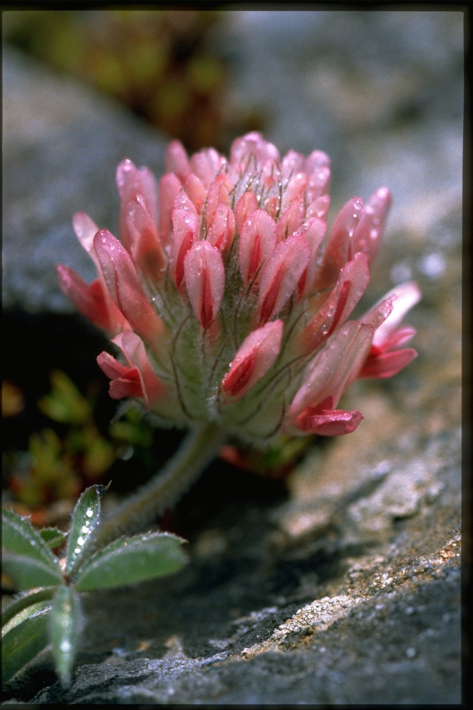 Closeup shot of Big-headed clover, Trifolium macrocephalum.