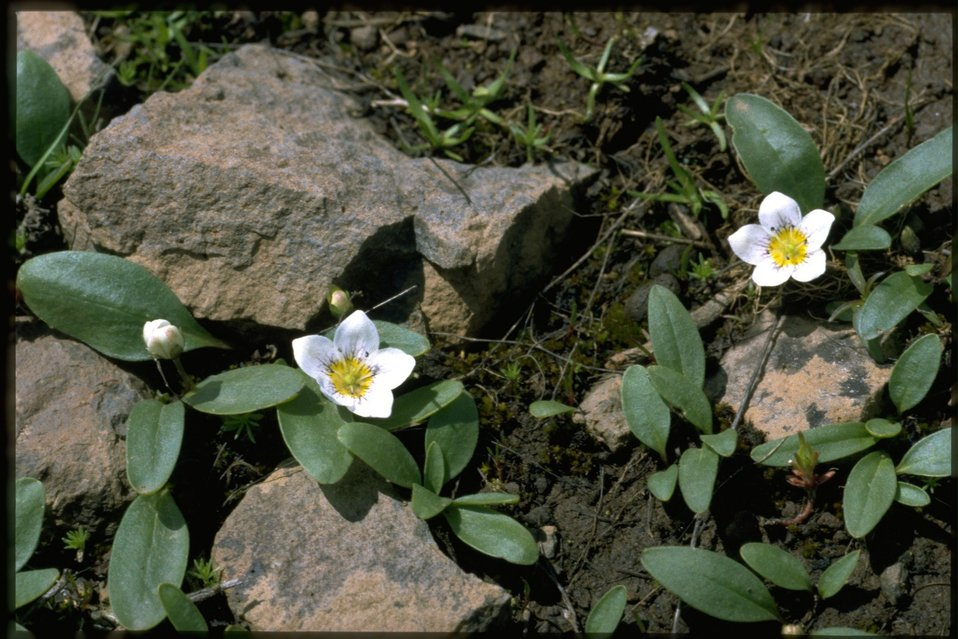 Medium shot of Dwarf Hesperochiron, Hesperochiron pumilus, wildflowers.