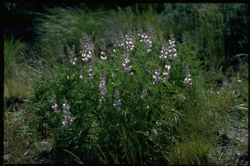 Far shot of Lupine wildflower.