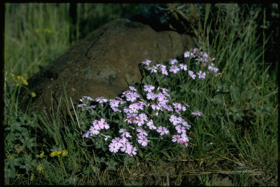 Medium shot of Longleaf Phlox, Phlox Longifolia, wildflowers.