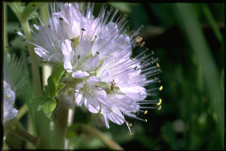 Closeup shot of Dwarf Waterleaf, Hyderophyllum Capitatum, wildflower.