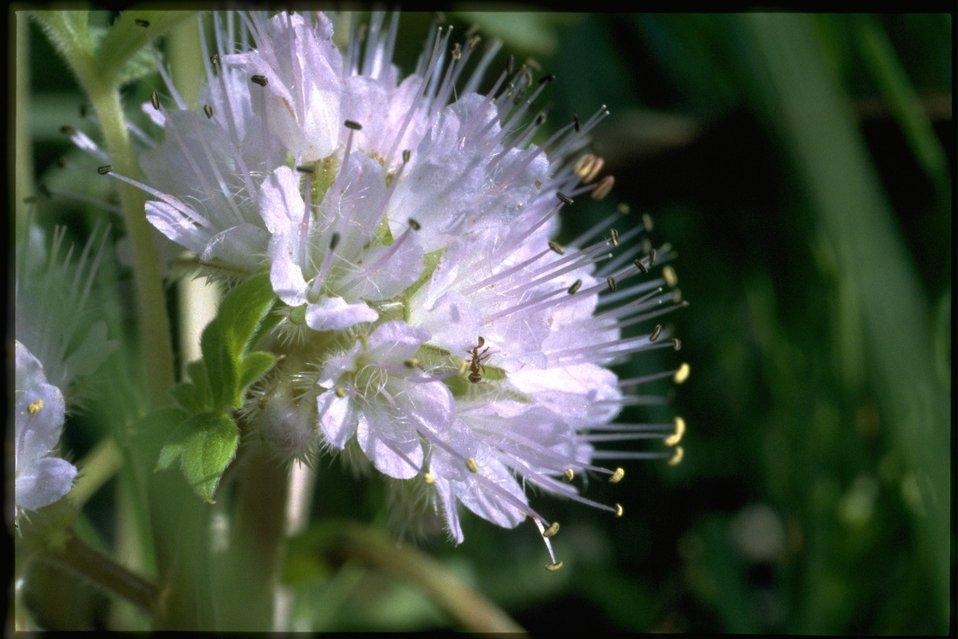 Closeup shot of Dwarf Waterleaf, Hyderophyllum Capitatum, wildflower.