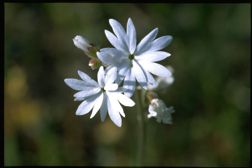 Closeup shot of Prairie Star wildflower (Lithophragma Sp.)