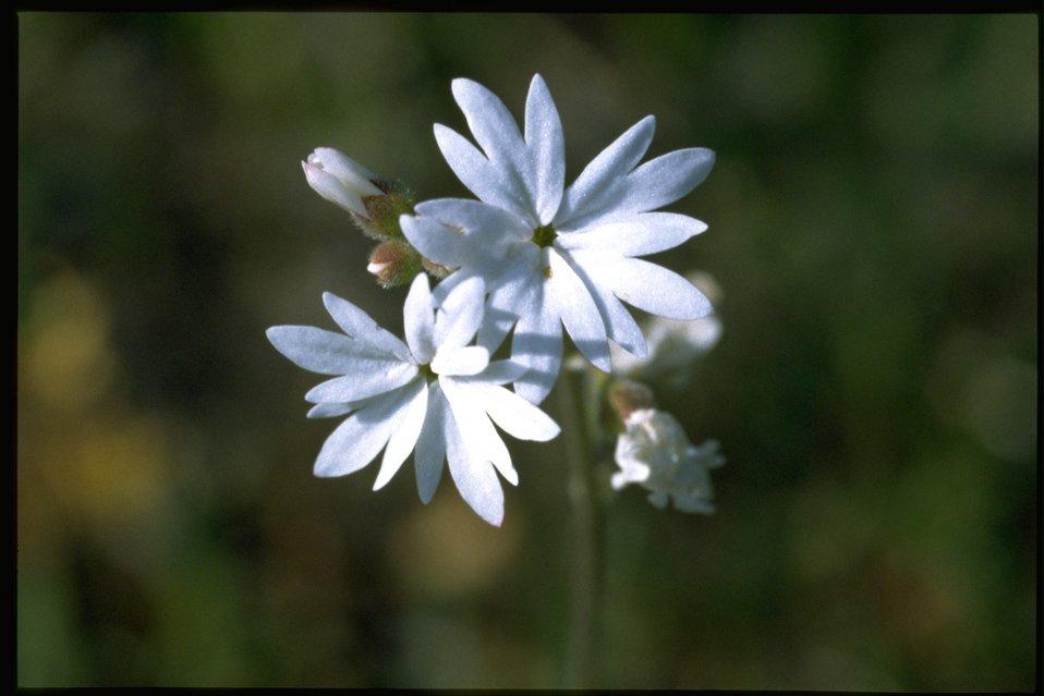 Closeup shot of Prairie Star wildflower (Lithophragma Sp.)