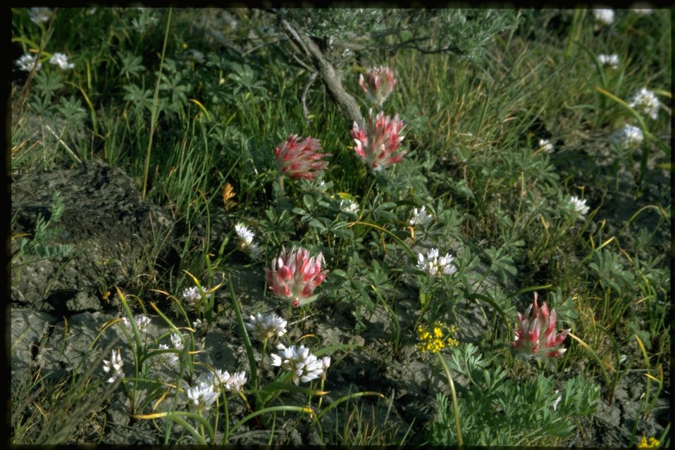 Farshot of Tolmie's Onion wildflowers and Big-headed Clover.
