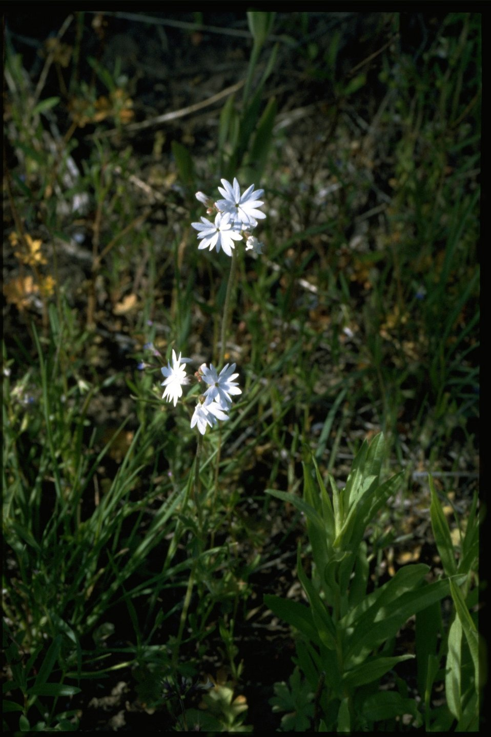 Farshot of Prairie Star wildflower (Lithophragma Sp.)