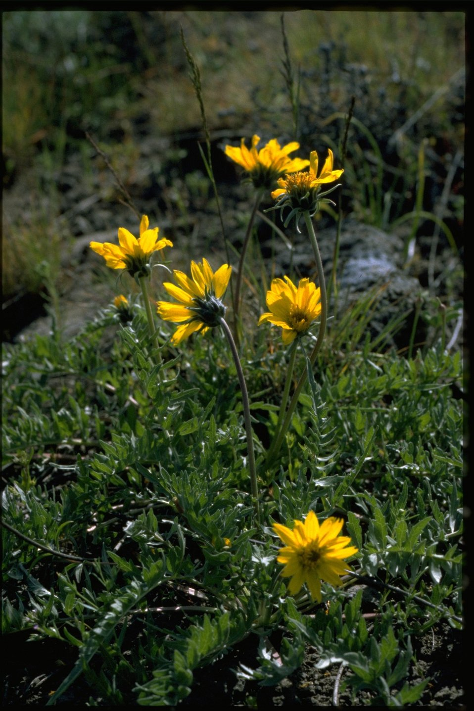 Medium shot of Hooker's Balsamroot wildflower (Balsamorhiza Hookeri).