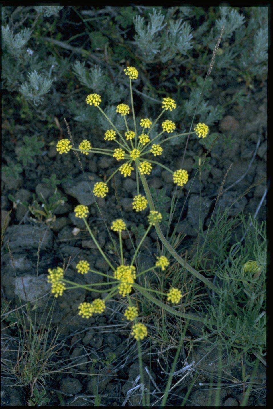 Farshot of Nine Leaf Biscuitroot wildflower (Lomatium Triternatum).