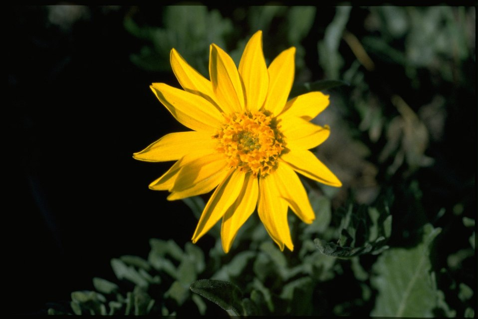 Closeup shot of Hooker's Balsamroot wildflower (Balsamorhiza Hookeri).