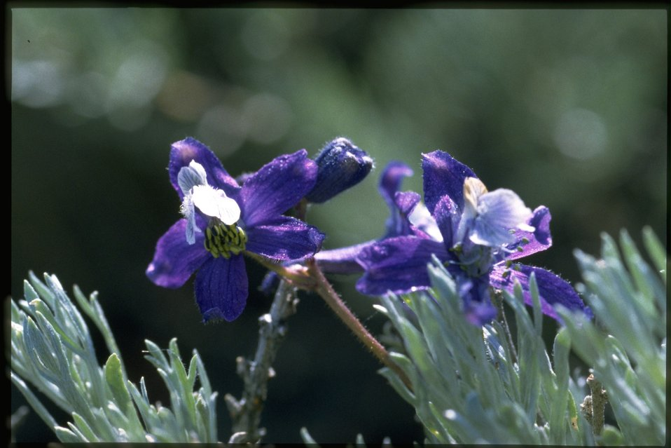 Closeup shot of Larkspur wildflowers (Delphinium Sp.).