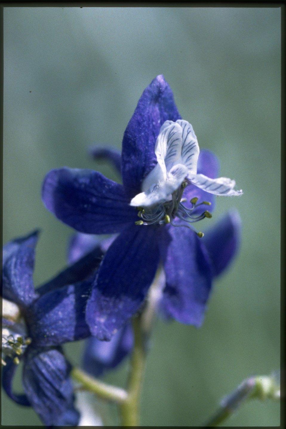 Closeup shot of Larkspur wildflowers (Delphinium Sp.).