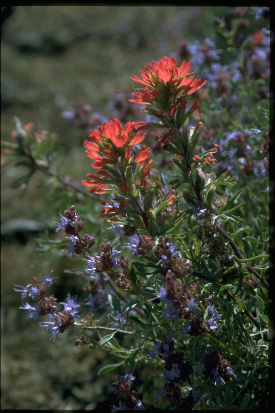 Medium shot of Castilleja and Salvia dorrii.