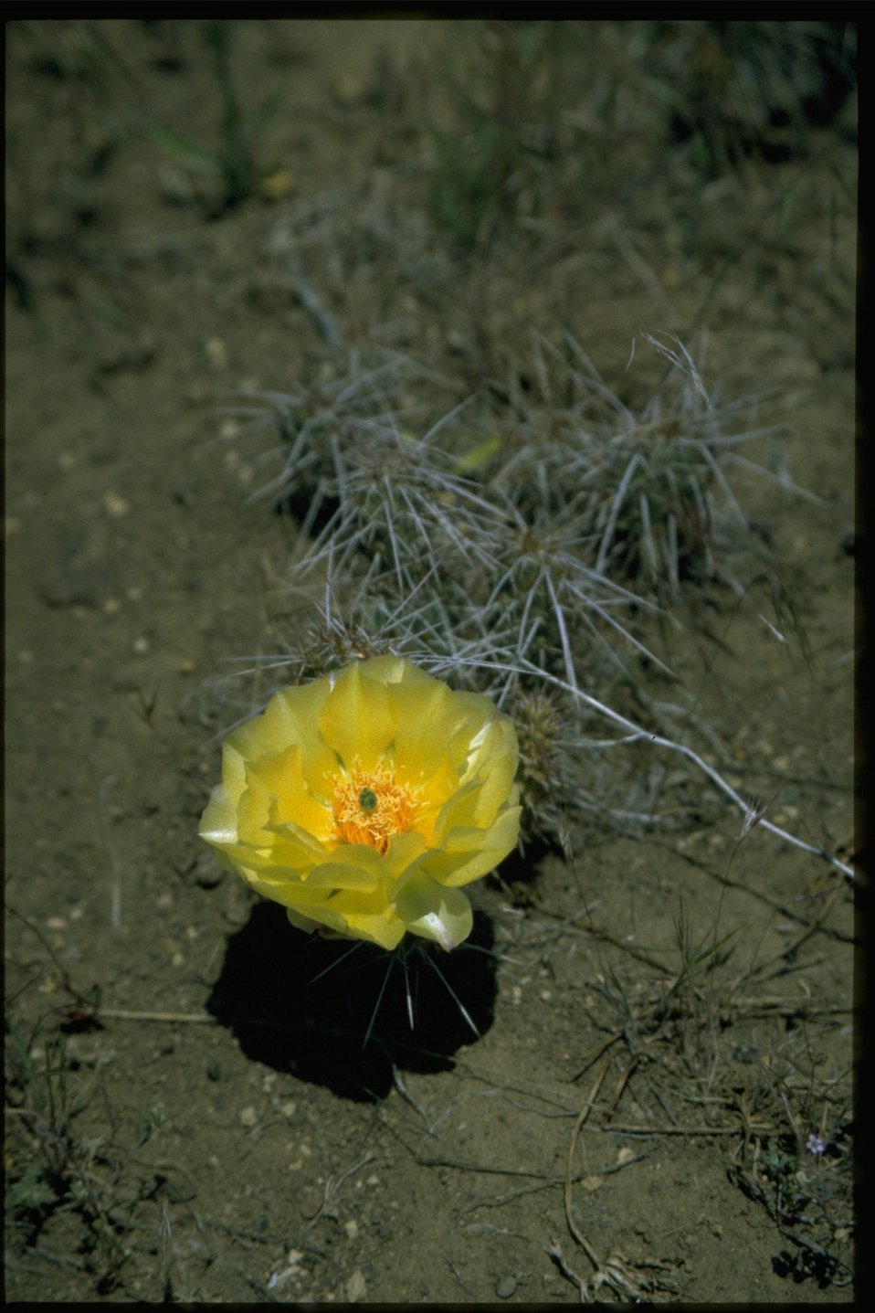 Medium shot of Opuntia.