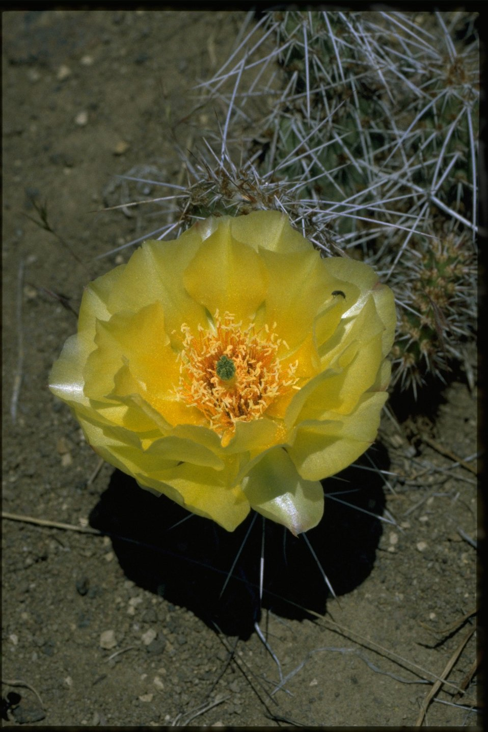 Closeup shot of Opuntia.