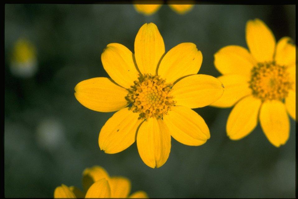 Closeup shot of Eriophyllum lanatum.