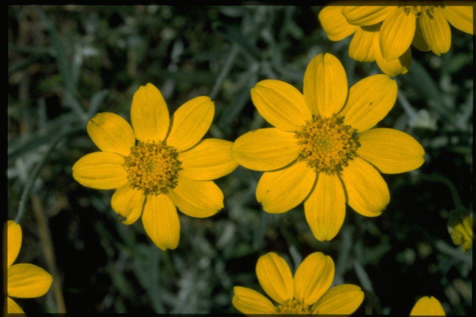 Closeup shot of Eriophyllum lanatum.