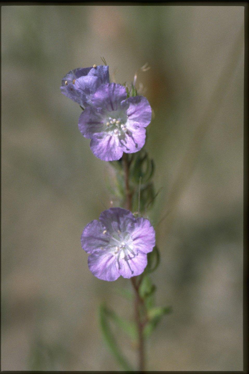 Closeup shot of Phocelia.