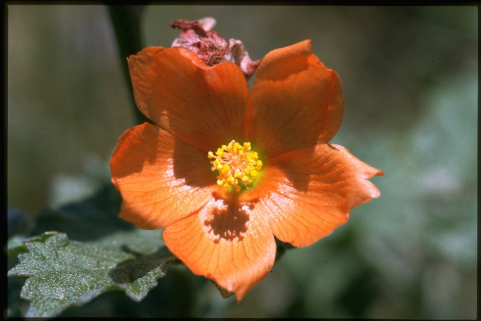 Closeup shot of Sphaeralcea grossular ide folia, Red Glove Mallow.
