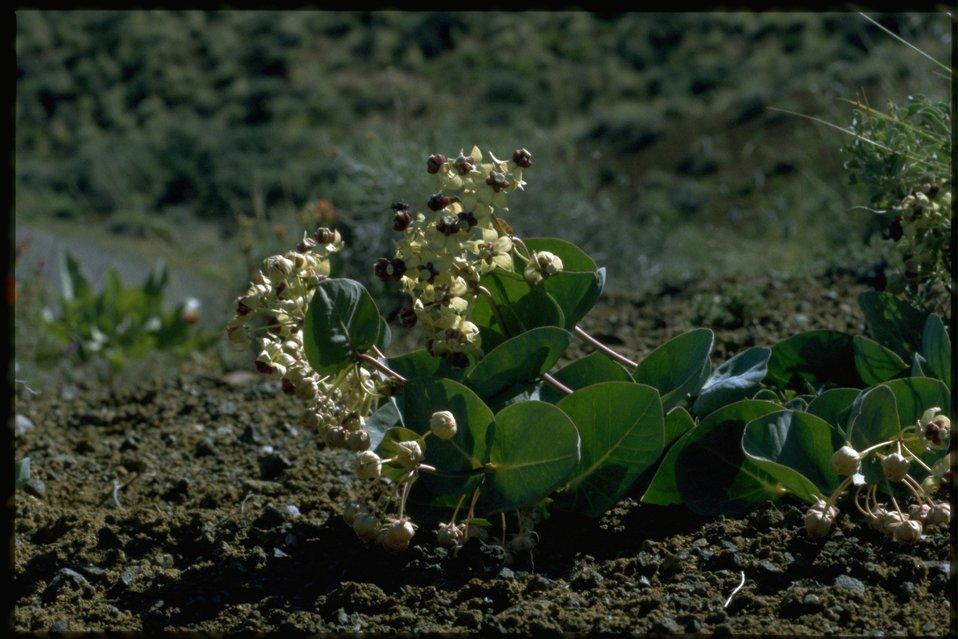 Farshot of Asclepias cordifolia.