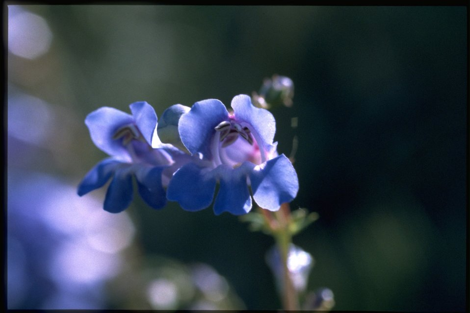 Closeup shot of Penstemon.