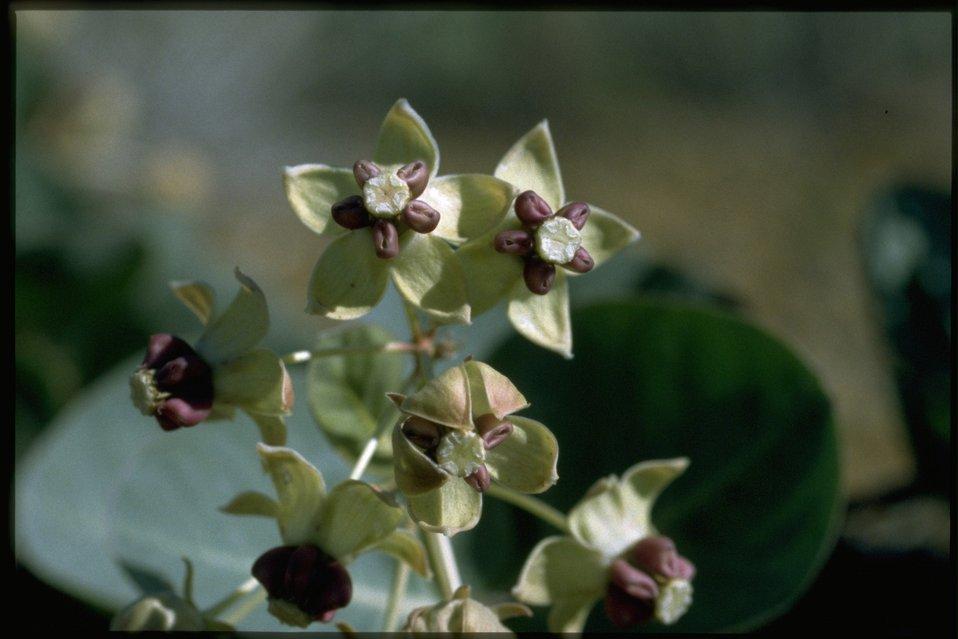 Closeup shot of Asclepias cordifolia.