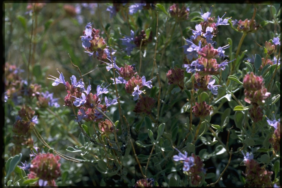 Medium shot of Salvia dorrii var gracilior.
