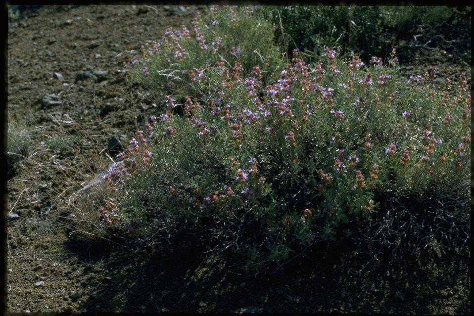 Farshot of Trifolium.
