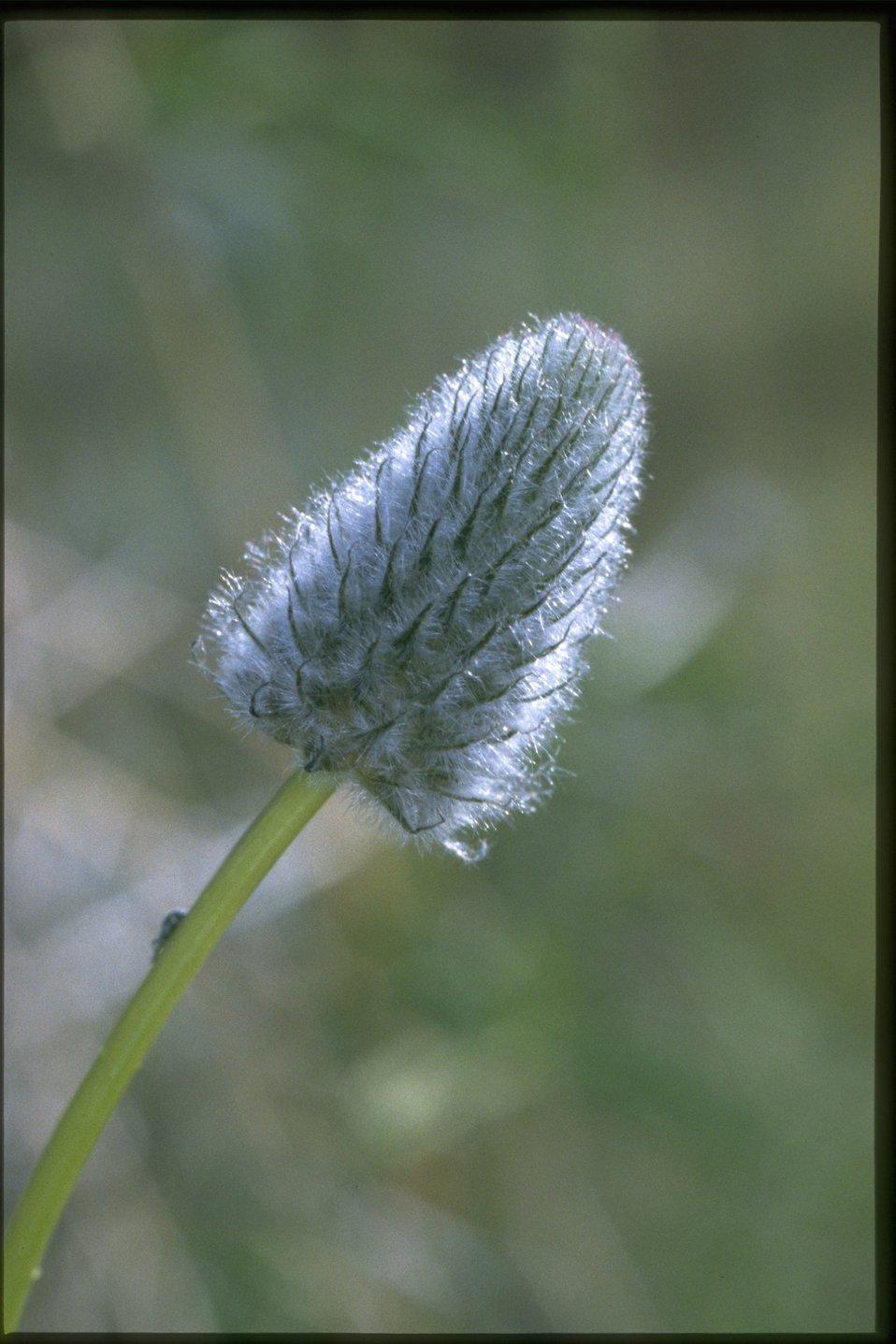 Closeup shot of Trifolium.