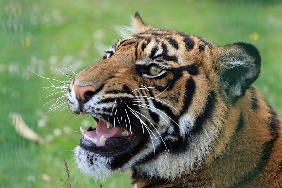 Tiger snarling close-up