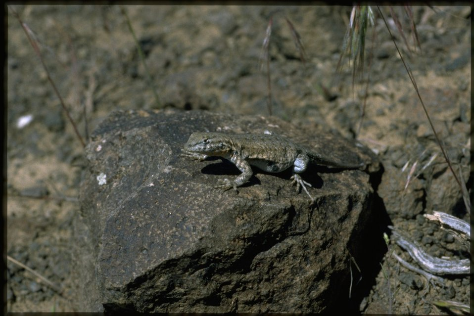 Medium shot of lizard resting on a rock.