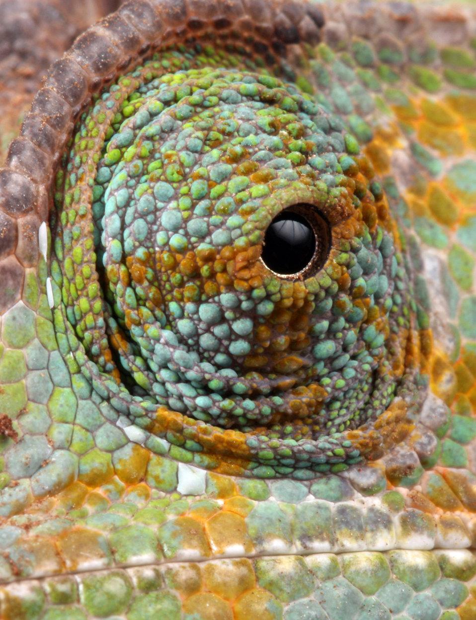 Chameleon eye macro