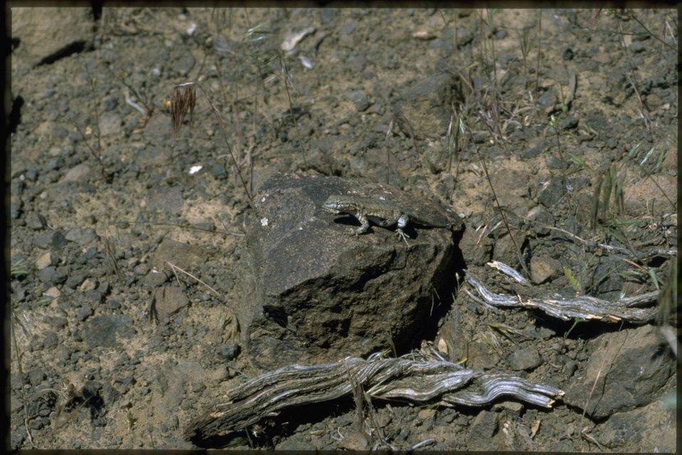 Farshot of lizard resting on a rock.