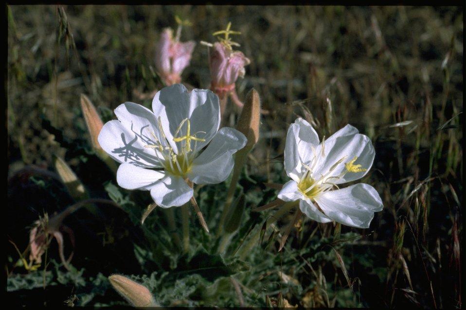 Medium shot of Oenothera.