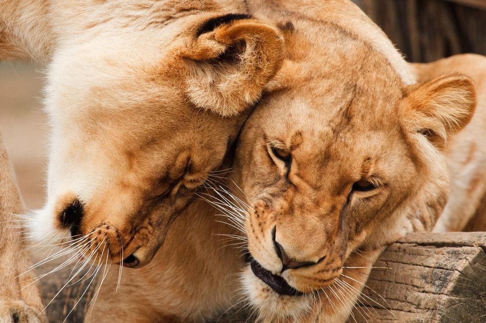 Cuddling lions