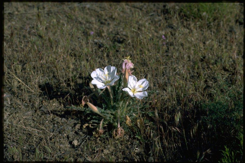 Farshot of Oenothera.
