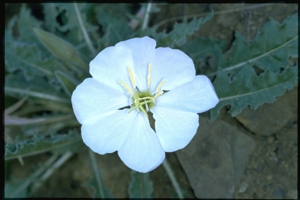 Closeup shot of Oenothera.