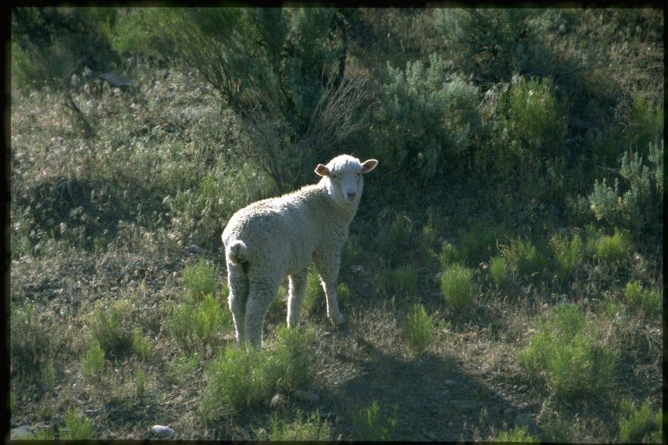 Farshot of sheep (meadow maggot).
