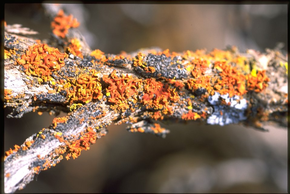 Lichen on tree branch.