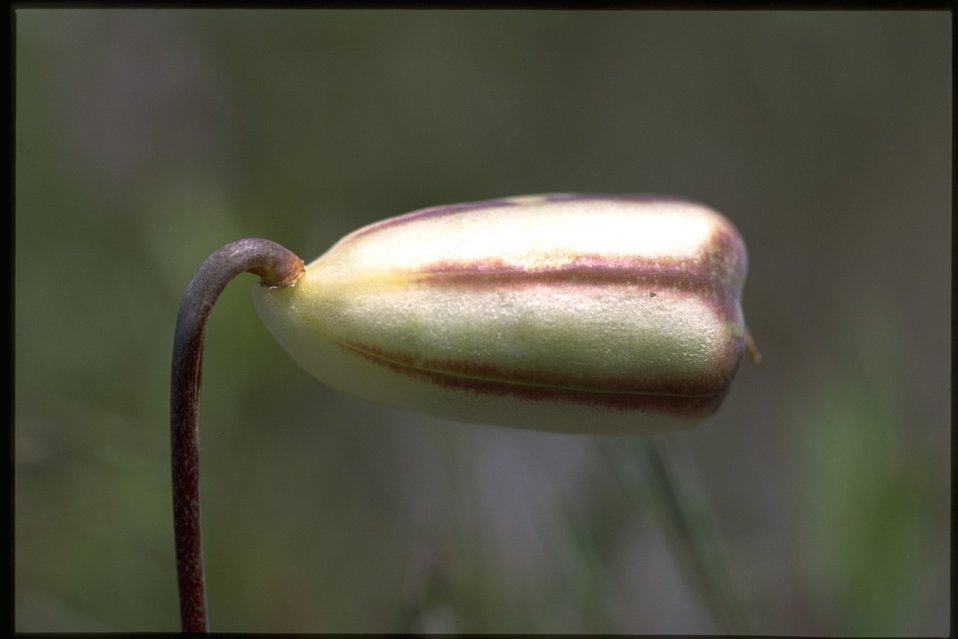 Closeup of Fritillaria pudica fruits.