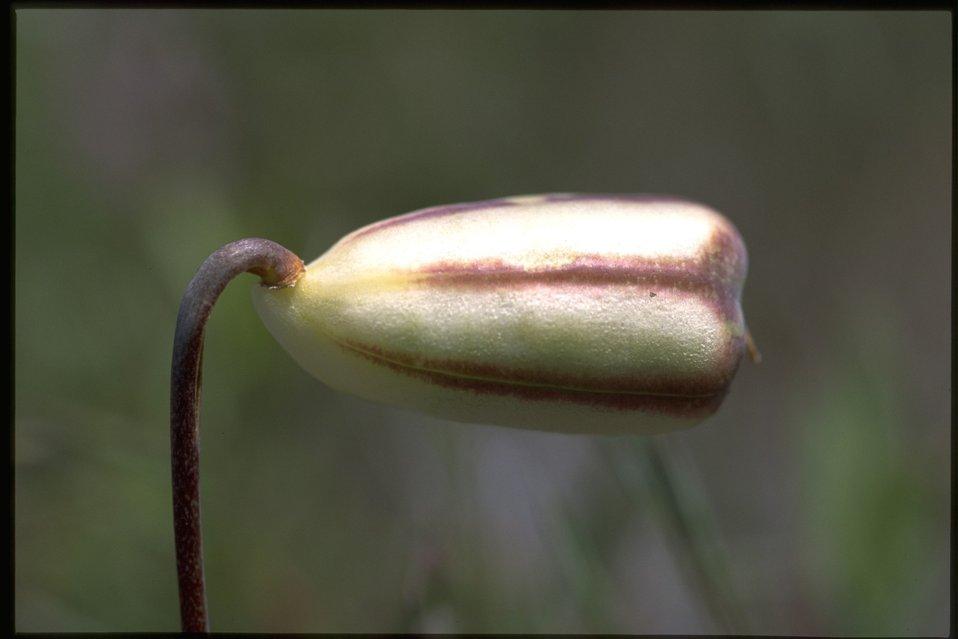 Closeup of Fritillaria pudica fruits.
