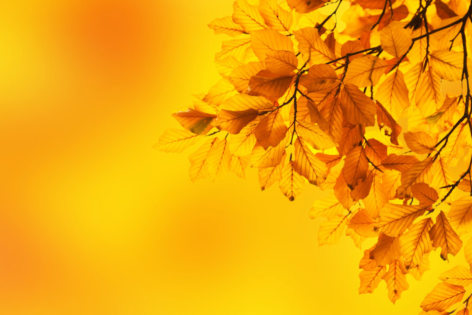 Yellow beech leaves