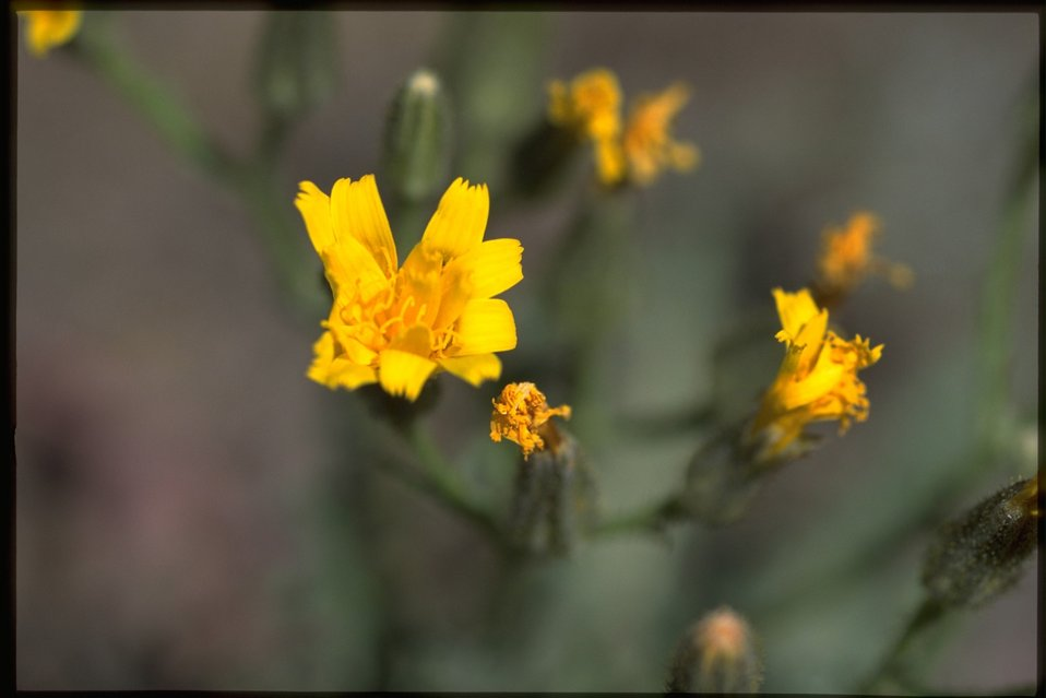 Closeup shot of Crepis.